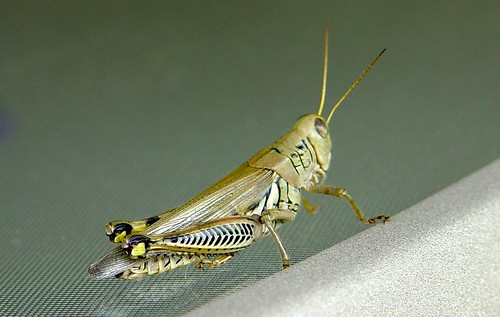Grasshopper on my table
