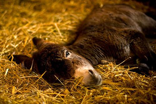 Donkeybaby, shortly before she falls asleep