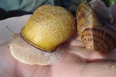 clam(0.0), seafood(0.0), produce(0.0), food(0.0), escargot(0.0), animal(1.0), sea snail(1.0), molluscs(1.0), snail(1.0), seashell(1.0), conch(1.0),
