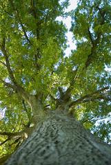 Loose Park - Large Tree