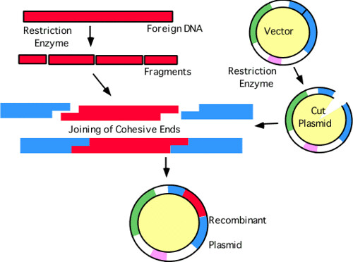"""the experiment procedure of the identification of an unknown plasmid in the restriction enzyme inter This experiment uses special """"restriction"""" enzymes that act as chemical scissors to cut λ dna into pieces each enzyme recognizes a unique sequence of 4-6 bases along the dna strand and cuts the strand at these sites - the first step in a process called restriction mapping."""