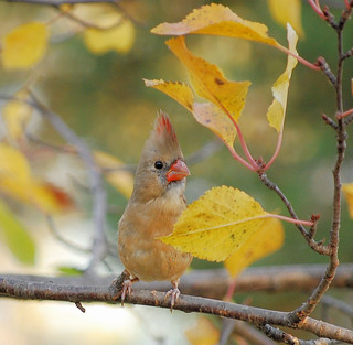 Young Female Cardinal in Autumn