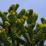 Araucaria araucana #3