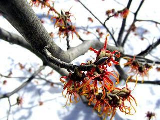 end of the witch hazel festival