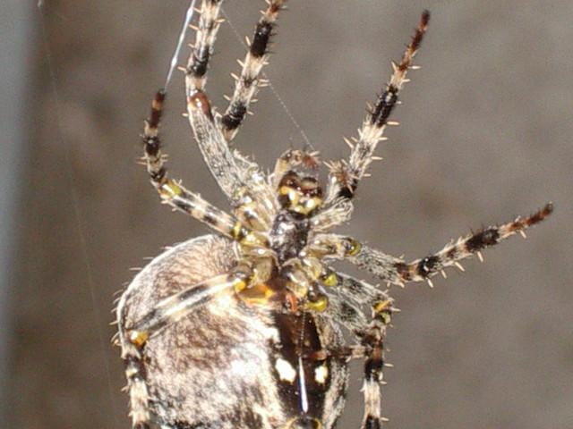 Two-Striped Telamonia Spider