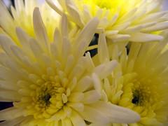 Spotty Chrysanthemum