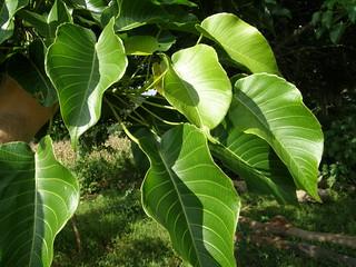 Sarbadera (Hura crepitans), hojas