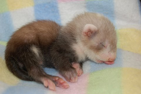 Sleeping Ferret Baby