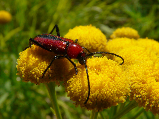 Red horned beetles - photo#3