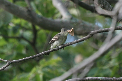 Eastern Wood-Pewee with Moth
