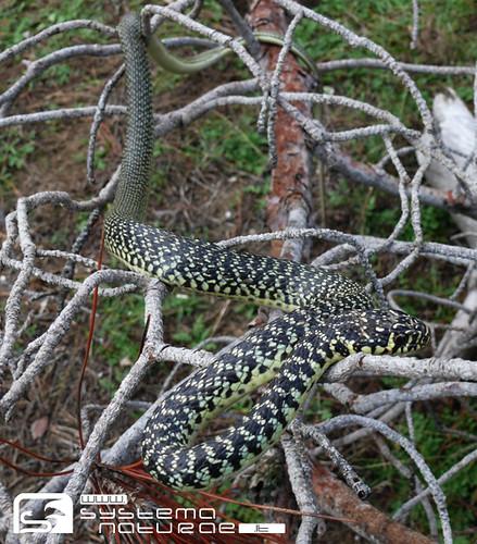 Biacco hierophis viridiflavus western whip snake for Serpente frustone