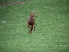 animal, dog, grass, dobermann, pet, mammal, meadow, lawn, vizsla,