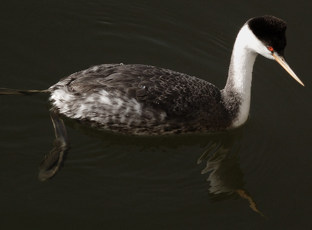 Western Grebe, With Feet!