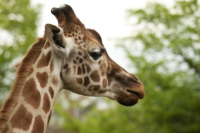 giraffe's profile | Fl...