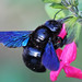 Carpenter Bees - Photo (c) Elsa BARTHES, some rights reserved (CC BY-ND)