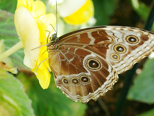 Butterfly with Spots on Yellow Flower