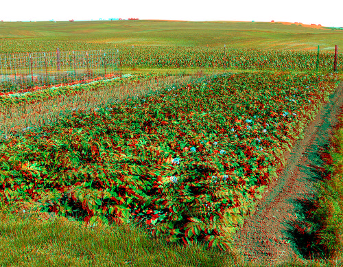 food plant flower rural garden stereoscopic stereophoto 3d spring farm anaglyph anaglyphs redcyan 3dimages 3dphoto 3dphotos 3dpictures stereopicture