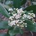 Toyon - Photo (c) randomtruth, some rights reserved (CC BY-NC-SA)