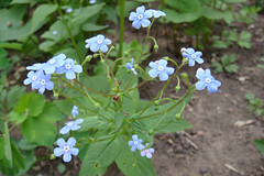 annual plant, flower, herb, wildflower, flora, forget-me-not,