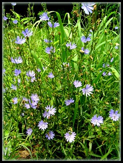 Amongst the Chicory Flowers...