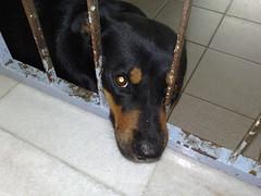 puppy(0.0), dog breed(1.0), animal(1.0), dog(1.0), german pinscher(1.0), dobermann(1.0), pet(1.0), mammal(1.0), pinscher(1.0),