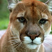 I just love the cougar pics!