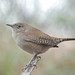 House Wren - Photo (c) Jerry Oldenettel, some rights reserved (CC BY-NC-SA)