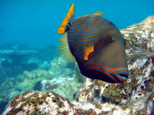 photoUndulate Triggerfish