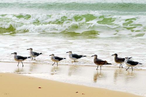 seagulls beach topv111 taggedout waves gulls alabama coastal babes seafoam latimes iloveit supershot views100 fbdg slbwading 15favs123views