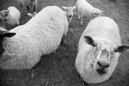 Sheep Look Up by peterkelly