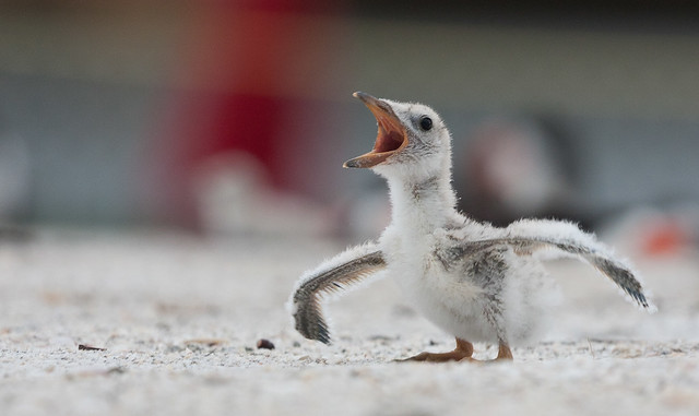 "Baby Black Skimmer ""I think I can fly"" (Explore)"