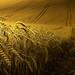 Golden wheat harvest