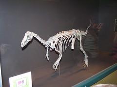 art, velociraptor, tyrannosaurus, skeleton, dinosaur,