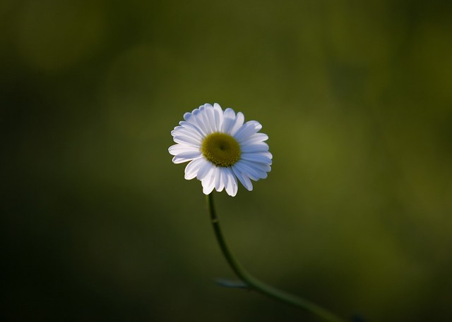 Daisy in early morning light
