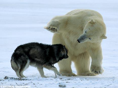 可爱的北极熊宝宝