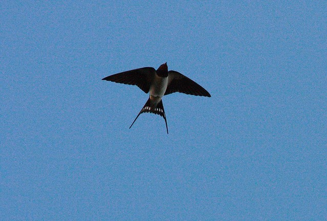 Summer Swallow in flight over the Kent Downs