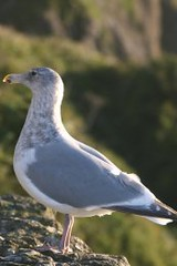 Sea Gull Resting on Cliff at Sea Lion Caves