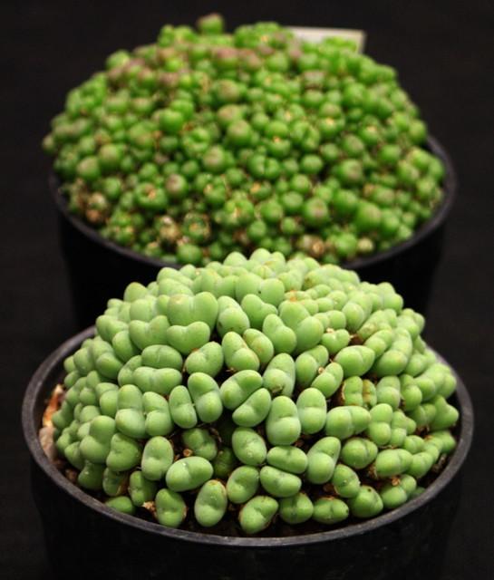 Conopytum saxetanum