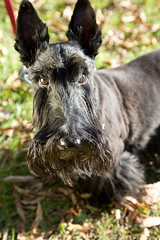 animal sports(0.0), berger picard(0.0), cairn terrier(0.0), patterdale terrier(0.0), dog breed(1.0), animal(1.0), dog(1.0), pet(1.0), mammal(1.0), standard schnauzer(1.0), irish wolfhound(1.0), schnauzer(1.0), miniature schnauzer(1.0), scottish terrier(1.0), terrier(1.0),