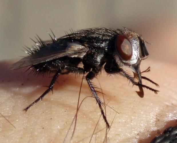 Baumhaueria microps 2965797011_9872d8ed6c_o