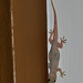 Common House Gecko - Photo (c) Dries Nys, some rights reserved (CC BY-NC-SA)