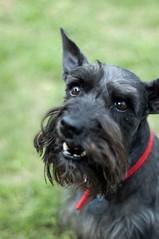 dog breed, animal, dog, schnoodle, pet, glen of imaal terrier, standard schnauzer, vulnerable native breeds, schnauzer, cesky terrier, miniature schnauzer, carnivoran, scottish terrier, terrier,