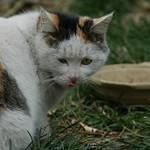Calico Cat - Beijing, China