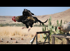 Jumping Rooster