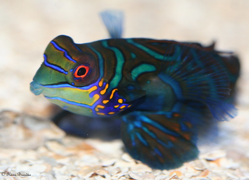 Mandarin goby blogiversity authentic and unique source for Saltwater goby fish