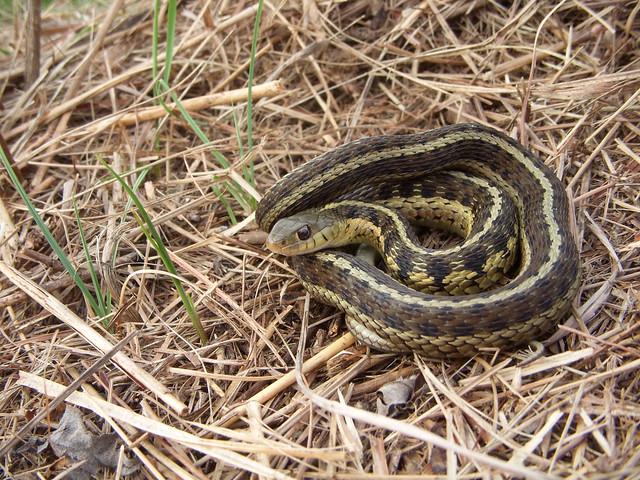 chicago garter snake flickr photo sharing