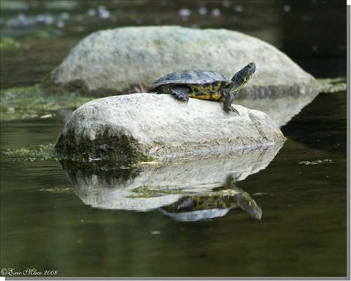 Red-eared Slider (adult male) - Trachemys scripta elegans