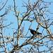 Small photo of Le corbeau tenait en son bec...