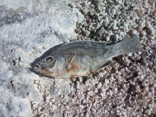 Dead tilapia mecca beach at the salton sea it 39 s common for Is tilapia a man made fish