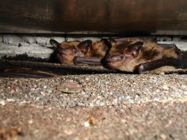chimney flashing bats